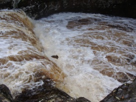 Salmon jumping at Stainforth on the River Ribble